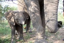 | TIMISA - RESIDENT ELEPHANT | / Timisa arrived at Camp Jabulani on 19 November 2016 as a thin 10-month old, with a strong will to survive. Read her full story here > http://campjabulani.com/the-herd/timisa/