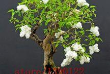 Bonsai Liliac