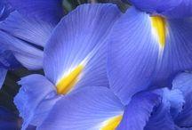 Iris quadro