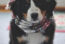 •Bernese Mountain Dog•