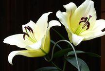 Lys / Une fragrance raffinée de lys blanc,  aux notes florales et solaires, avec une pointe de cardamome.