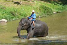Elefanten in Thailand / Der Elefant wird in Thailand seit langer Zeit verehrt und ist in Thailand eigentlich allgegenwärtig.  Elefanten wurden in Thailand früher hauptsächlich als Arbeitselefanten für schwere Arbeiten im Dschungel  eingesetzt.  Auch heute noch kann man die Elefanten bei der Arbeit sehen, allerdings überwiegend nur noch in den von Touristen und Einheimischen gut besuchten Elefanten Camps. Hier zeigen die gelehrigen Tiere wie sie alleine oder zusammen tonnenschwere Baumstämme ziehen oder stapeln.