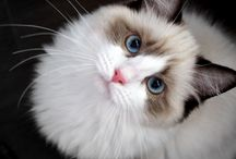 Ragdoll - cat of my dreams