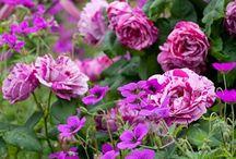 Rose Garden / Ideas for a rose garden