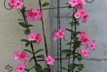 flores trepadeiras