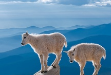 Animals in Glacier National Park / Glacier National Park is full of amazing animals. Predators from grizzly bears to wolves and prey from deer to pika.  When you go out in Glacier, you're never alone! / by Glacier Guides and Montana Raft Company