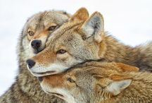 Coyotes / Aren't these coyoutes amazing? They are like wolves. I Really like them :)
