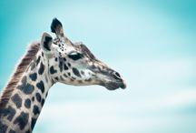 ANIMAL • Giraffe
