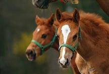 Horses - Foal Twins