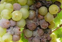 grape problems