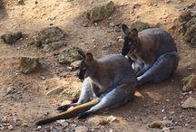 Wallabys en Cabarceno, Cantabria, Spain