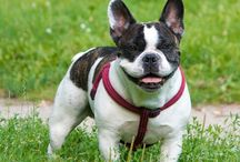 French Bulldog / Pictures of my french bulldog, Stefan, and other cute frenchies.
