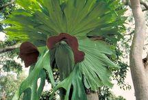 CHIFRE-DE-VEADO - ( Platycerium bifurcatum ) Samambaia herbácea, epífeta. / Adoro!!! Tenho várias...