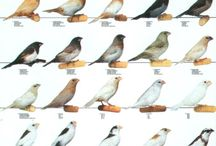 Society Finches (Bengalese)