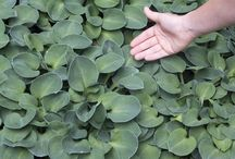 Ground Cover / Ground cover helps to protect your soil, beautify your property, and prevent soil runoff.