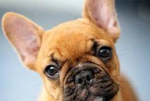 Bouledogue Francesi / Sveglio, giocherellone e molto affettuoso il bouledogue francese è un cane adatto alle famiglie con bambini!