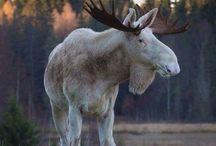 moose - los