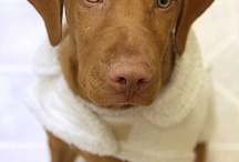 Hungarian Vizslas / For the love of Vizsla dogs.