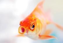 Goldfishies!