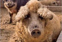 varkens en schapen