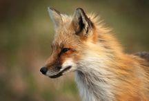 Лисы, кошки и прочий зоопарк / Foxes and cats