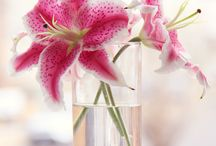 Lily / Lilien