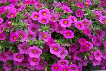 Million Bells Calibrachoa / Million Bells® is a trade mark for a collection of calibrachoa and this group are all mounding in habit, continuous blooming, self-cleaning, impervious to heat and are well branching   / by Suntory Flowers