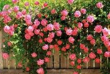 Beautiful flovers / Rózsaszínű zuhatag