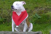 Boo, The gorgeous Staffie!