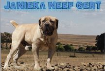Boerboels true dogs.