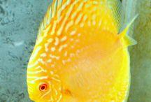 Diszkosz halak
