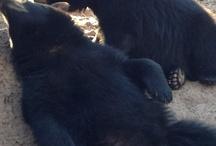 Bears Galore