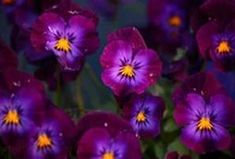 Pansies- the first flower love!