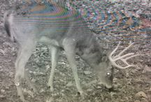 Trail cam photos / Let's see those PA wildlife photos!