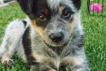 Dogs - Australian Cattle Dog / by Mary Van Brink
