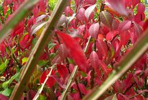 Herfstkleur / Fantastisch als je al die prachtige herfstkleuren in de herfst ziet. Maar wat gebeurt er nu eigenlijk? In de herfst, wanneer de dagen korter worden en de temperatuur daalt, stoppen de bladeren met hun voedselproductie. Door een gebrek aan zonlicht wordt het chlorofyl afgebroken en verdwijnt de groene kleur. De gele, oranje en rode pigmenten worden nu dus pas zichtbaar. Met prachtige mini kunstwerkjes als gevolg…