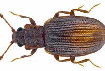 latrididae