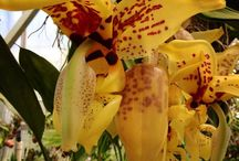 Stanhopea /Corianthes /Huntleya