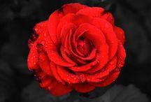 Roses / Des fleurs à la couleur, le rose photographié à toutes les sauces par les nouveaux talents de la photo artistique.