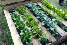 Veggie patch / Grow my own produce