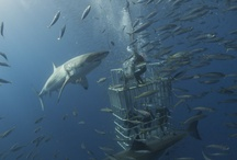 Scuba Diving / Guadalupe Great White Shark Cage diving and Socorro Giant Mantas diving