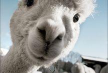 Alpaca, thats who