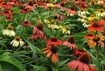 Orange Perennials for Sun / Discover new perennials by color and light requirements to make creating your garden simpler.