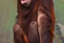 Orangutan * LOVE*
