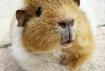 Chinchillin'  / The cuteness that is guinea pigs and chinchillas!