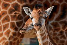 Giraffes / A fantastic board all about giraffes.
