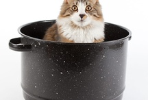 Maine Coon Cat / Our Maine Coon Cat named Bucket. / by Hovering Laplante