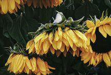 van gogh's sunflowers / 75% vincent 10% yellow 10% sun 5% sunflowers