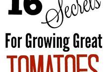 Growing tomatoes.