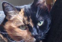Meyou: two colored face cat / Mijn kat Meyou is een soort van schildpadkat met een prachtige tweekleurige kop. Nu schijnt dit bij schildpadkatten vaker voor te komen. Ik ben dus op zoek gegaan :-)